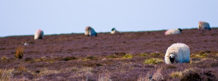 North York Moors Sheep